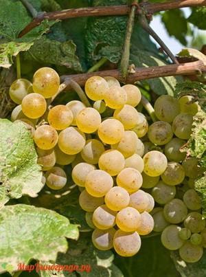 Виноград Поклингтон