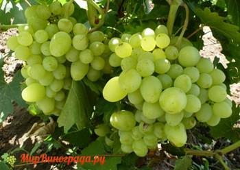 Виноград Прелесть