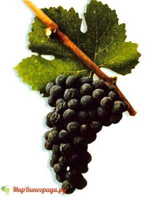 Виноград Рубин