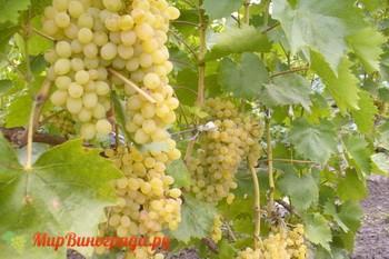 Виноград Русбол