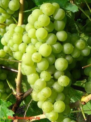 Виноград Сибера