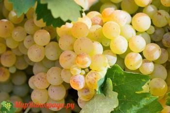 Виноград Солнечный