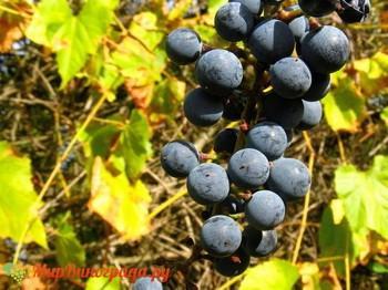 Виноград Советский