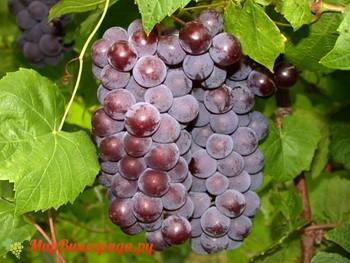 Виноград Свенсон Ред