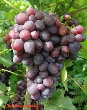 Виноград Томайский