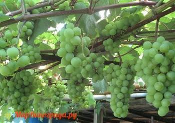 Виноград Юбилейный Новгорода
