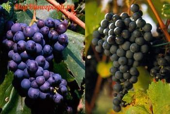 Виноград Кадарка