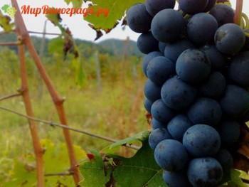 виноград Александроули