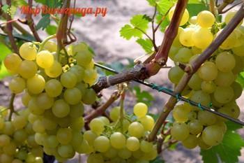 Виноград Агра