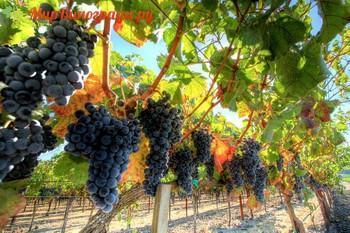 Виноград Аликанте