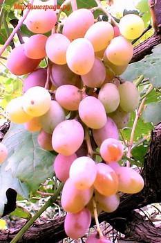Виноград Алина