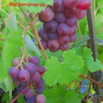 Виноград Алтайская Роза