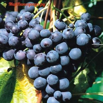 Виноград Альден