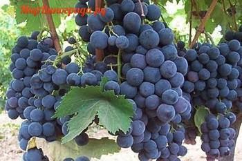 Виноград Альфонс Лавалле-1