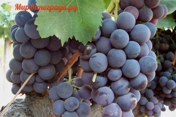 Виноград Альфонс Лавалле