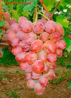 Виноград Аркадия Розовая-1