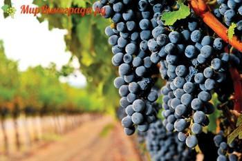 Виноград Армавир