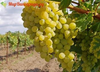 Виноград Армалага