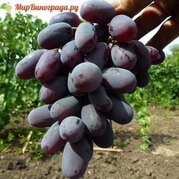 Виноград Ани