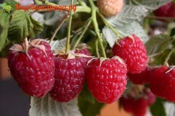 Малина – любимая ягода многих садоводов, она обладает приятным вкусом и ароматом, к тому же неприхотлива в уходе. Одним из самых урожайных и популярных у садоводов является сорт малины Геракл. Он получен с помощью гибридизации разновидности Autumn Bliss и межвидового сеянца 14-205-4 в Брянской области в Кокинском НИИ. Ботанические характеристики Для малины Геракл характерны следующие признаки: кусты умеренной силы роста, пряморослые, слабораскидистые; побеги прямые, окрашены в коричневый цвет, покрыты шипами по всей длине. Побегообразование умеренное. Растения густо покрыты шипами. Шипы небольшие плотные, прямые с изгибом к низу. Однолетние растения пурпурового оттенка, покрыты восковым налетом, без признаков опушения. Двухлетние побеги окрашены в коричневый цвет; листья растений большие, ярко-зеленого оттенка, без опушения, слабокрученные, по краям заостренные; соцветия небольшого размера, тычинки расположены на уровне пестика или ниже; ягоды большого размера, могут достигать в среднем 4-6 грамм веса, имеют укороченную коническую форму и интенсивный рубиново-красный оттенок. Мякоть ягод не рассыпается, отличается кисло-сладким вкусом и приятным ароматом. Плоды располагаются в верхней части побегов. Специфика культивирования Данный сорт малины ремонтантный, то есть он способен приносить урожай дважды в год: летом и осенью. Геракл дает урожай первый раз во второй декаде июня, а второй – во вторую декаду августа. Вторая волна урожая более обильна так как она созревает на новых побегах. Растения считаются полуштамбовыми: из-за средней силы роста они не нуждаются в опоре. Однако при интенсивном питании кусты могут достигать 2 м, в этом случае для формирования растений стоит использовать шпалеру. Регулировать сроки плодоношения можно пи помощи обрезки кустов – чем короче обрезка, тем позже созревают ягоды. Показатели урожайности сорта находятся на высоком уровне: средние показатели составляют 92 ц/га. С одного растения можно получить от 2,5 до 3,5 кг ягод. Можно использо