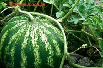 Как вырастить арбуз в подмосковье