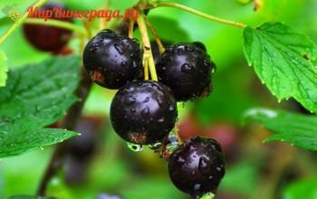 Крупноплодные сорта черной смородины