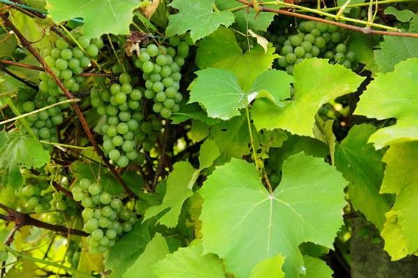 Виноградные листья для чая