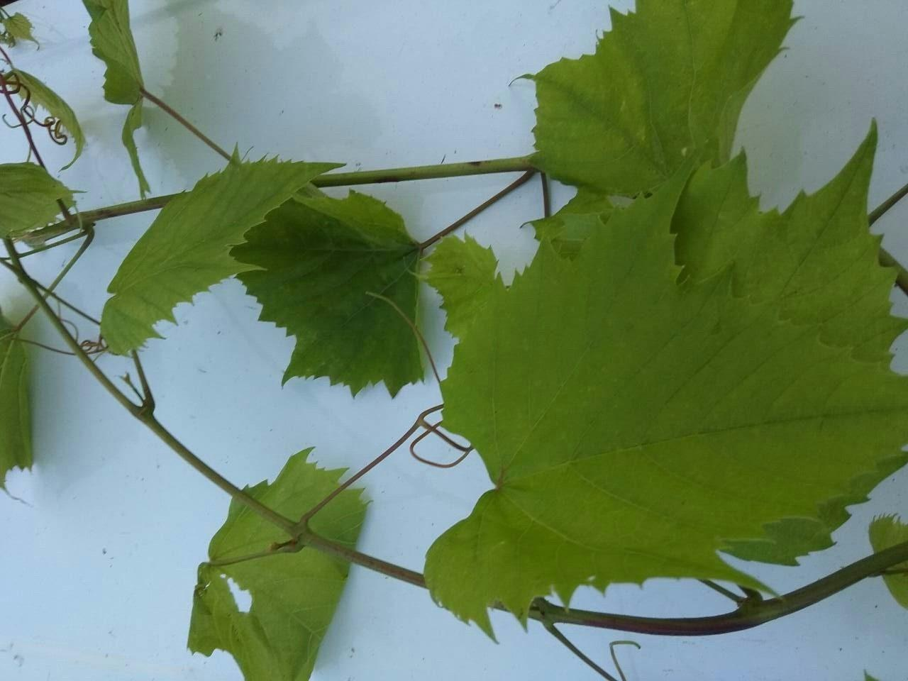 Ветка с листьями винограда